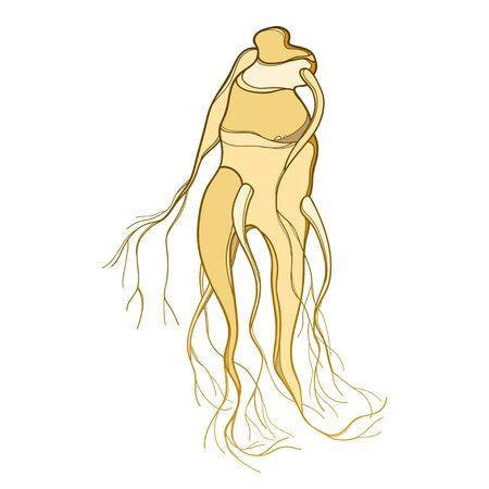 Mandragora or mandrake root isolated.