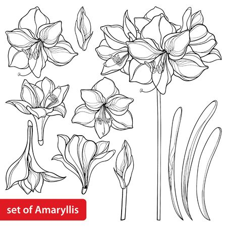 Set of outline Amaryllis flower and leaf isolated. Ilustração