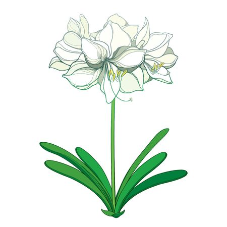 Outline white Amaryllis flower bunch and leaf isolated.