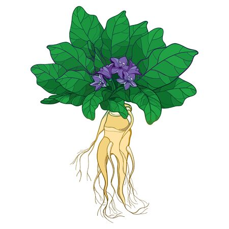 Mandragora or Mandrake flower, leaf and root isolated.