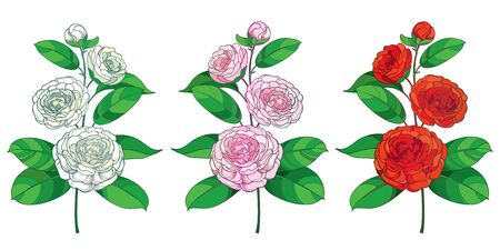 Set of outline pink, red amd white Camellia isolated.