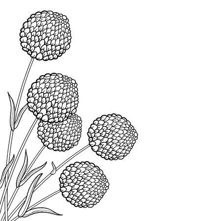 Corner bouquet of craspedia ball or billy buttons isolated. Illustration
