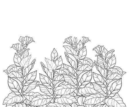 Feld mit Umriss Tabakpflanze oder Nicotiana isoliert. Vektorgrafik