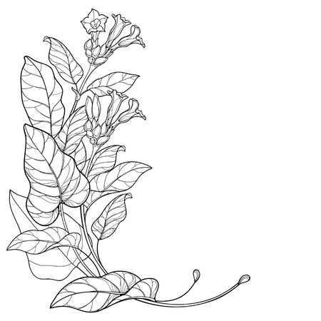 Corner bunch with outline toxic Tobacco plant isolated.