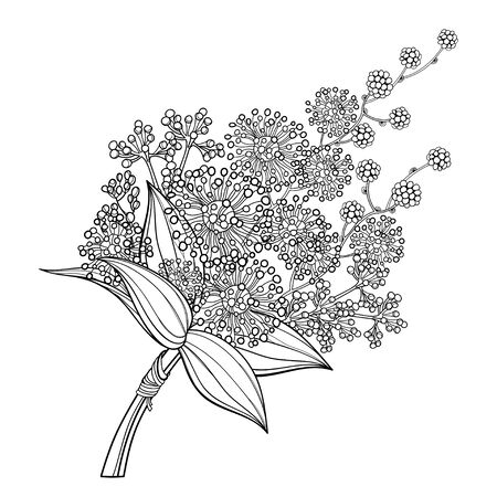 Bouquet of outline Mimosa or Acacia dealbata bunch isolated. Ilustrace