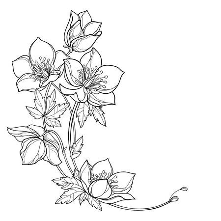 Corner bouquet with outline Helleborus flower isolated.