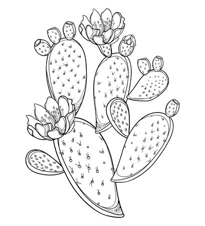 Bush of outline Opuntia or prickly pear cactus isolated.