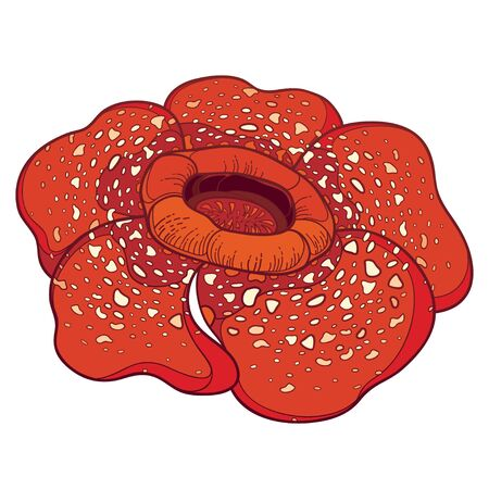 Rafflesia arnoldii o flor de lirio de cadáver en rojo aislado.