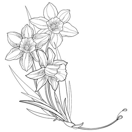 Corner bouquet with outline narcissus or daffodil isolated.