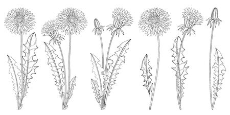 Set of outline Dandelion flower, bud and leaves in black isolated.