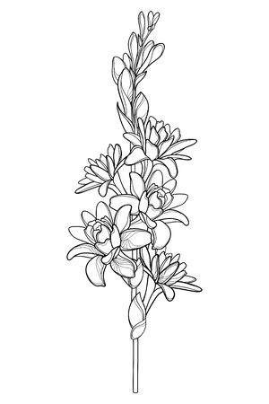Outline tropical Agave amica or Tuberose flower isolated.
