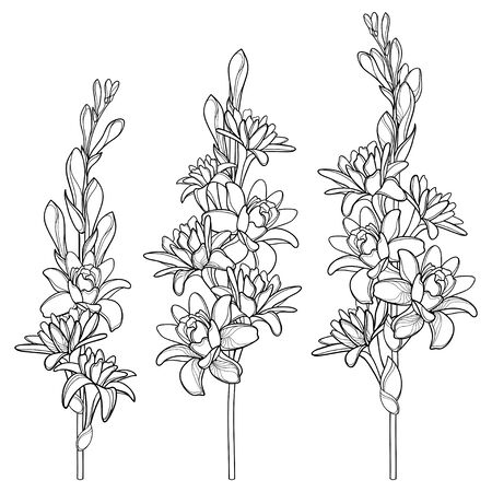 Set of outline tropical Agave amica or Tuberose flower isolated.