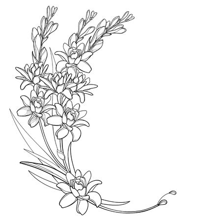 Corner bouquet of outline tropical Tuberose flower isolated.