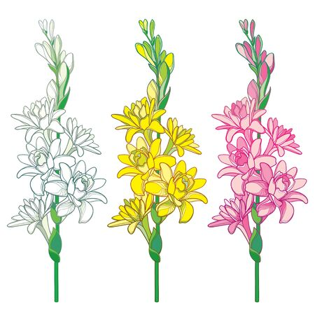 Set of outline tropical Polianthes or Tuberose bunch isolated. 向量圖像