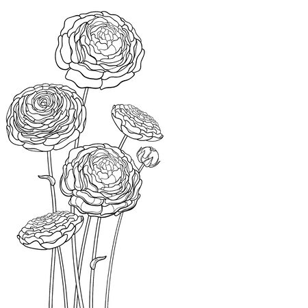 Bouquet of outline Ranunculus or Buttercup flower in black isolated. 版權商用圖片 - 147578355