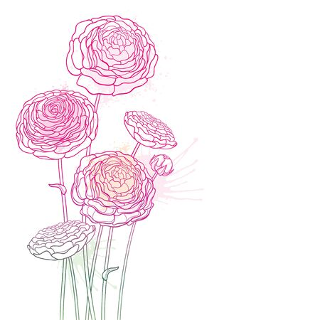 Bouquet of outline Ranunculus or Buttercup flower in pink isolated. 版權商用圖片 - 147576971