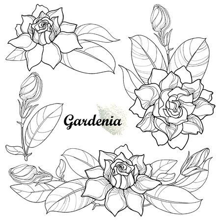 Set of outline Gardenia flower and leaf in black isolated. 版權商用圖片 - 147578137