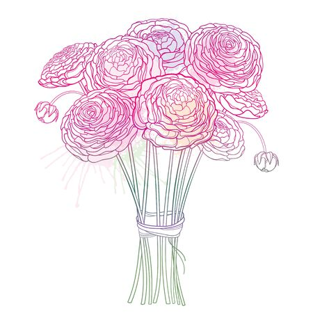 Bouquet of outline Ranunculus or Buttercup in pink isolated.