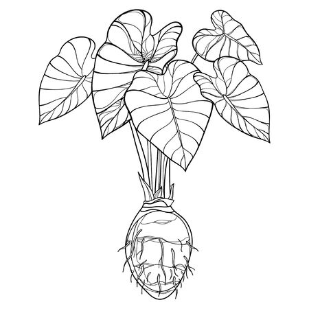 Bush of outline tropical Colocasia or Taro leaf with corm isolated.