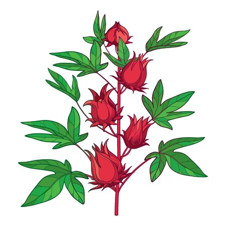 Stem of outline tropical Roselle or Hibiscus sabdariffa isolated.