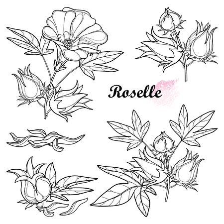 Set of outline tropical Roselle or Hibiscus sabdariffa in black isolated.