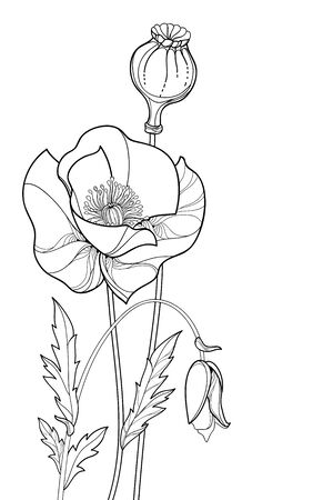 Bouquet of outline Poppy flower, bud and seed isolated.