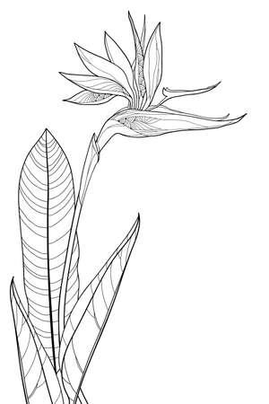 Bouquet of outline tropical Strelitzia reginae or bird of paradise flower isolated. Ilustração