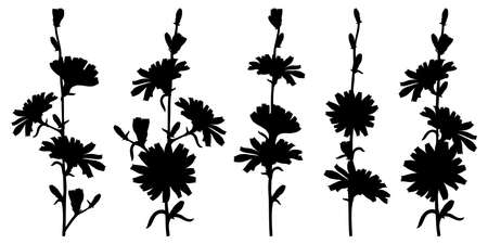 Set of Chicory flower silhouettes in black isolated on white background.