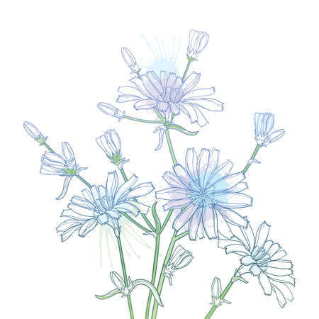 Bouquet of Chicory flower, bud and leaves in pastel blue isolated on white background.