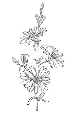 Stem of outline Chicory, bud and leaves in black isolated on white background.