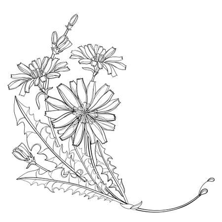 Corner bouquet of outline Chicory, bud and leaves in black isolated on white background.