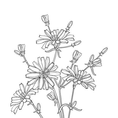 Bouquet of outline Chicory flower, bud and leaves in black isolated on white background.