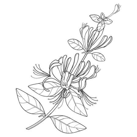 Branch of outline Japanese Honeysuckle with flower, bud and leaf in black isolated on white background.