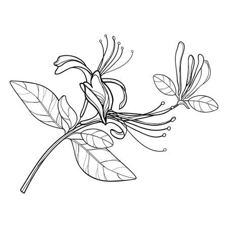 Bunch of outline Japanese Honeysuckle with flower, bud and leaf in black isolated on white background. 矢量图像