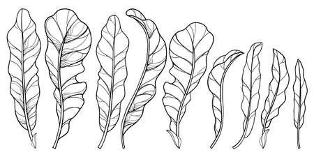 Set of outline Horseradish ornate leaf in black isolated on white background.