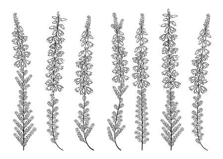 Set of outline Heather or Calluna bunch in black isolated on white background. 矢量图像