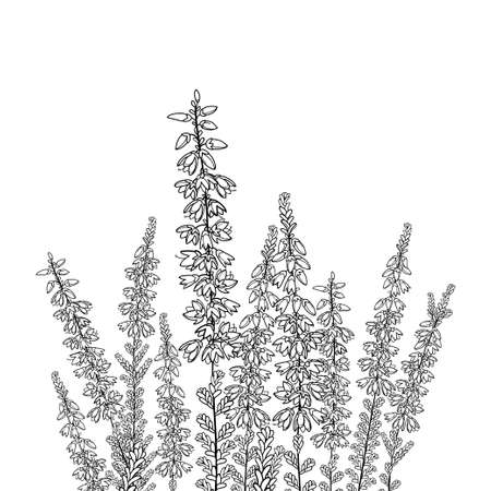 Field with outline Heather or Calluna in black isolated on white background.