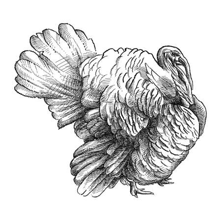 Hand-drawn sketch of domestic turkey male or gobbler in black isolated on white background.