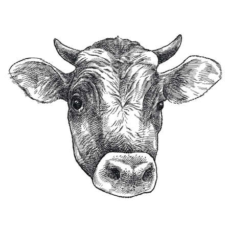 Hand-drawn sketch of Bull head (Jersey breed) in black isolated on white background.