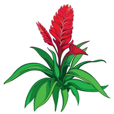 Bush o tropical Vriesea with red flower isolated on white background.
