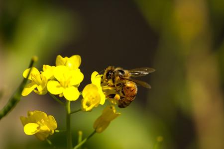 bee on a yellow flower Banco de Imagens