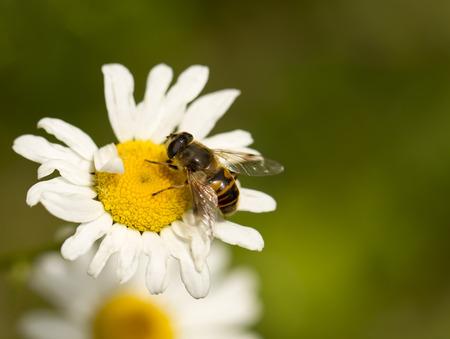 bee on a daisy Фото со стока - 32692032