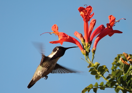 flit: hummingbird Stock Photo