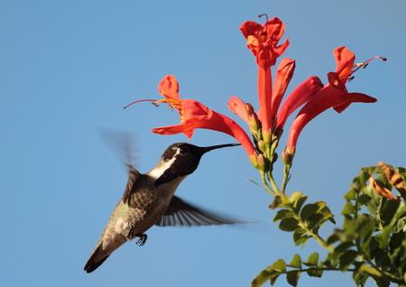 hummingbird Фото со стока