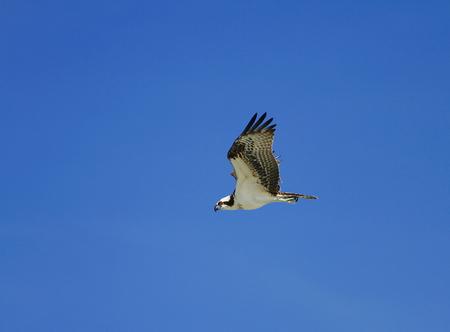 osprey flying across a blue sky Фото со стока