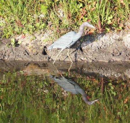 Blue heron wading Фото со стока
