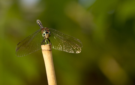 anisoptera: dragonfly with green background