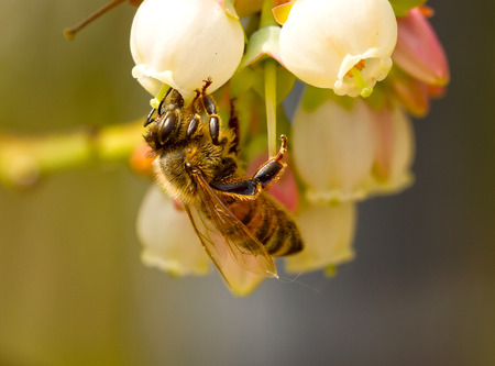 bee pollinating blueberry flowers