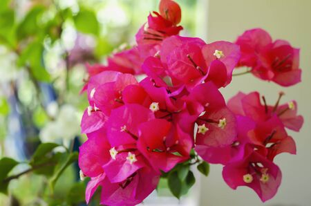 The genus Bougainvillea, known by the common names of bougainvillea, bougainvillea, bugambili, papelillo, Napoleon, trinitaria, veranera and santa Rita, is a genus of flowers of the family Nyctaginaceae originating from the tropical rainforests of South America.