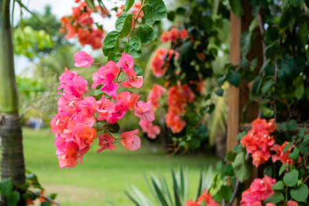 Bougainvillea is a genus of thorny ornamental vines, bushes, and trees belonging to the four o clock family, Nyctaginaceae